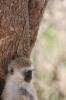 Resting Vervet Monkey